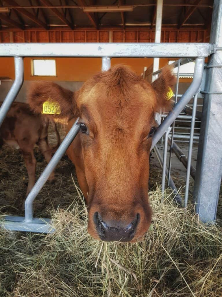 En söt ko i Tyresta by