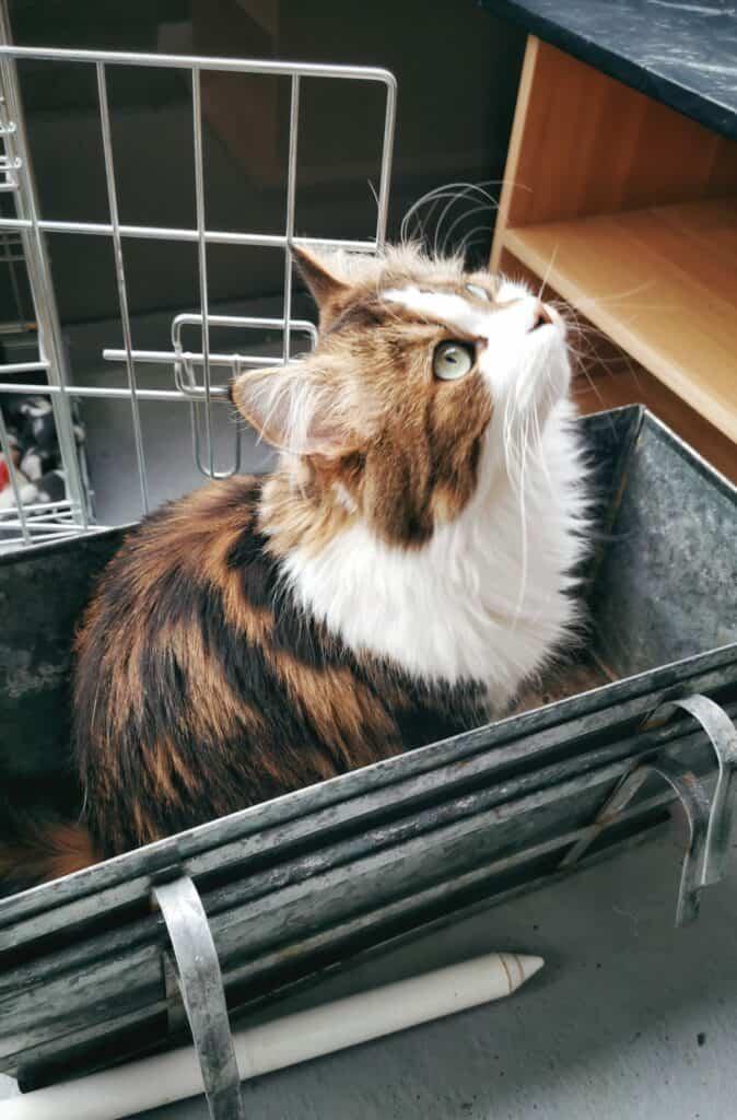 Hörselskadad katt i blomlåda